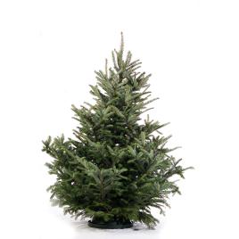 Sapin de Noël naturel coupé Fraseri 150-175 cm