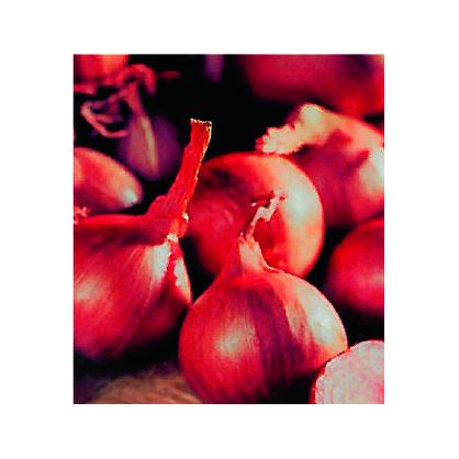 Bulbes d'échalottes Red Sun 1 kg VILMORIN