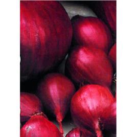Bulbes d'oignons Red Baron 0,25 kg VILMORIN