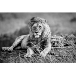 Toile Lion 97 x 65 cm