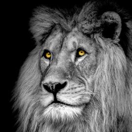 Impression sur verre Lion 30 x 30 cm