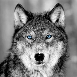 Impression sur verre Blue Eyes Wolf 45 x 45 cm