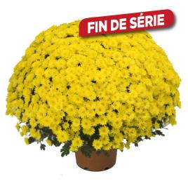 Chrysanthème pomponette en pot
