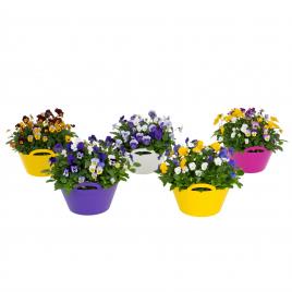 Violette cornue en pot