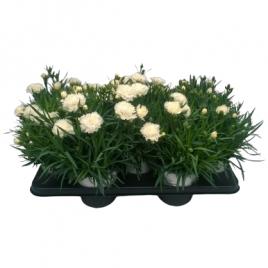 Dianthus Oscar en pot