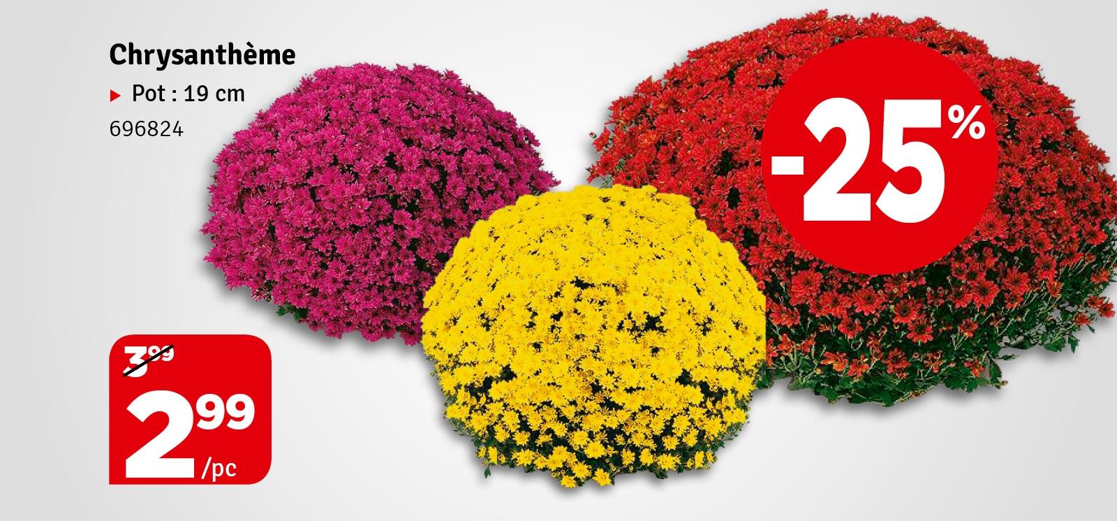 Promo - Chrysanthèmes