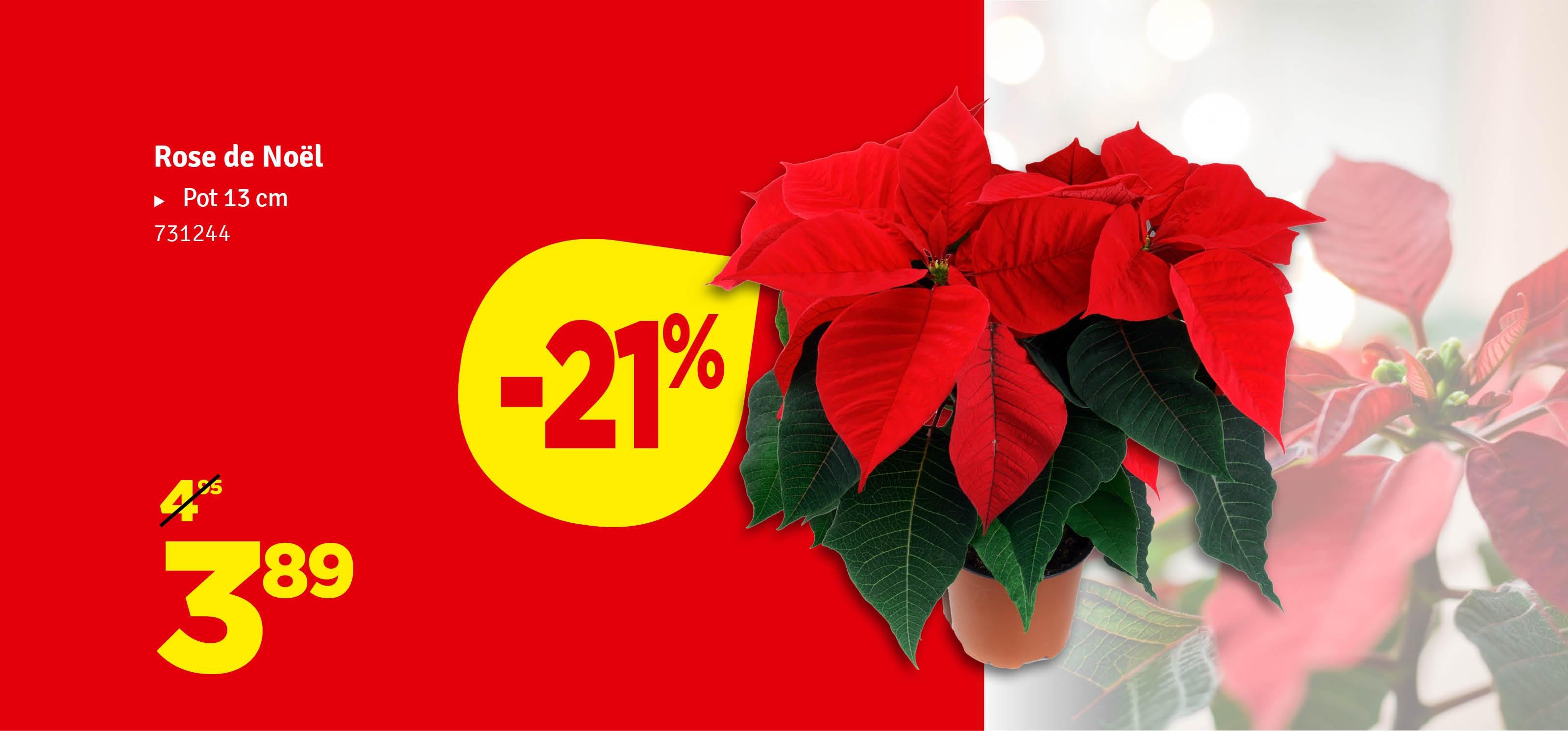 Promo - Rose de Noël
